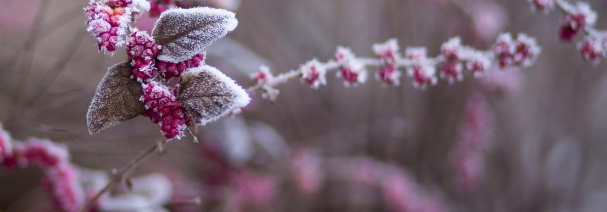 Frosted Winter Plant