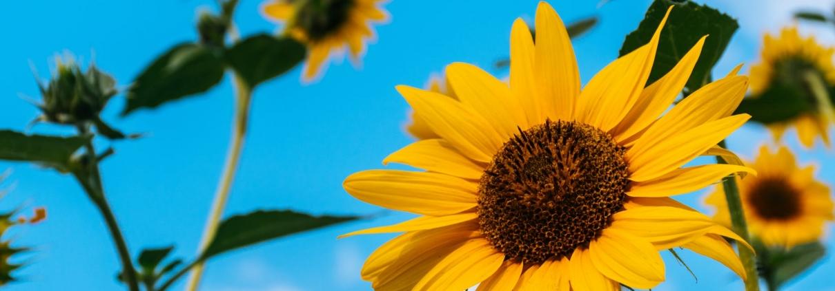 Sunflowers and sky